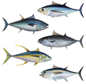 Various Strains of Tuna Fish